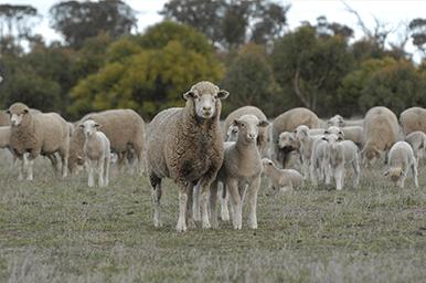 Prime SAMM Breeders Society of Australia